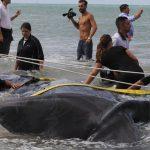 Capodogli vasto fondazione cetacea 8