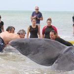 Capodogli vasto fondazione cetacea 9